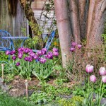 Purple tulips around Chestnut tree