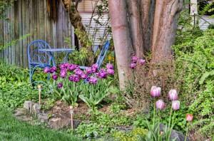 Purple tulips around Chestnut tree